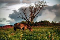 Grazeful... (Maverick) Tags: uk flowers trees light summer england sky horse tree green art beach nature grass clouds sunrise wow dawn seaside flora nikon glow clovelly equestrian grazing graze d800 80400mm