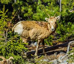 female bighorn sheep - sulphur mtn, banf NP, canada (AB) 4 (Russell Scott Images) Tags: canada mountains rocky ab canadian alberta banff banffnationalpark bighornsheepoviscanadensis