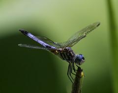 DragonFly_SAF7668 (sara97) Tags: nature insect outdoors dragonfly missouri saintlouis predator citypark towergrovepark mosquitohawk urbanpark photobysaraannefinke copyright2016saraannefinke
