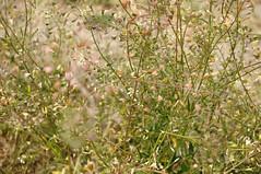 Am Stettiner Haff in Kamminke - Hirtentschel (Capsella bursa-pastoris); Usedom b (357) (Chironius) Tags: usedom mecklenburgvorpommern meklemburgiapomorze uznam deutschland germany allemagne alemania germania    ogie pomie niemcy pomienie rosids malvids brassicales kreuzbltlerartige brassicaceae kreuzbltengewchse frucht fruit frutta owoc fruta  frukt meyve    buah