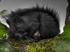 Black baby squirrel (Claude@Munich) Tags: baby cute june germany garden bayern bavaria rodent spring squirrel ast nap oberbayern upperbavaria mde tired birch garten birke eichhrnchen babysquirrel sciurusvulgaris hrnchen eichktzchen claudemunich schlfchen europischeseichhrnchen eichkater euraseansquirrel junifrhling
