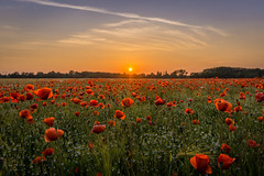 Poppies at Sunset (daniel_moeller) Tags: sunset sun nature landscape sonnenuntergang natur beautifullight poppy poppies landschaft sonne mohn mohnfeld poppyfield sigma19mmf28dn sonyalpha6000