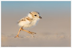 Piping Plover Chick (Matt Filosa) Tags: bird pipingploverchick