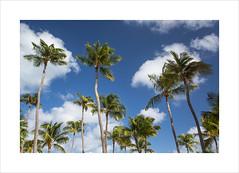 Palm Trees (andyrousephotography) Tags: trees sun white holiday beach sunshine clouds relax happy hotel coast movement mood bright venezuela fluffy palm aruba breeze palmbeach sway riupalace dutchcaribbean