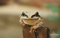 Common Indian Frog_1 (Shahid_Hussain) Tags: frog outdoor portrait eyes wildlife nature big bigeyes