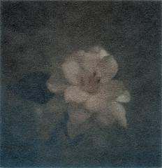 Gardenia (declic65.miura) Tags: print polaroidsx70 1stmodel impossibleproject 600filmcustom 70colorfilm sheapskinpaperwhite