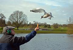Feeding gulls (2) (Caulker) Tags: park lake march gull stalbans 2016