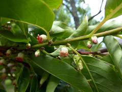 Diospyros virginiana L. 1753 (EBENACEAE) (helicongus) Tags: spain diospyros diospyrosvirginiana ebenaceae jardnbotnicodeiturraran