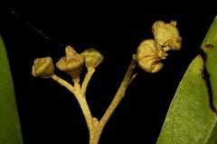 Argophyllum nullumense (andreas lambrianides) Tags: threatenedspecies australiannativeplant silverleaf australianflora australianplants australianrainforests australianrainforestplants argophyllaceae nswrfp qrfp argophyllumnullumense arfflowers yellowarfflowers subtropicalarf warmtemperatearf