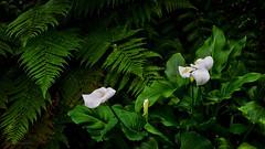 Calla lily (Eduard Gorobets) Tags: light summer urban white plant flower macro art nature closeup garden leaf colorful europe tallinn estonia bright calla blossom outdoor glossy simplicity botanic delicate callalily brilliant greenbackground frangible