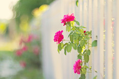 Be obsessively grateful! (Sandra H-K) Tags: pink flowers summer sunlight white green nature sunshine june fence outside outdoors flora soft pretty bright bokeh softfocus serene summertime hff fencefriday