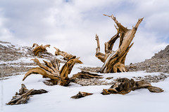 Relics of a Battle Long Lost (Kurt Lawson) Tags: california ca sky white mountain snow mountains tree rock pine clouds zeiss forest dead high ancient branch cone debris ridge 55mm stump summit trunk bristle bristlecone dolomite a7r2