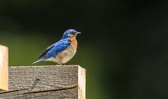 IMG_9156 Male Eastern Bluebird (Wallace River) Tags: bluebird easternbluebird