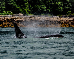 Orca - Killer Whale off of Juneau, Alaska (valerie.toalson) Tags: alaska juneau killerwhale orca