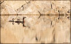 Mustakurkku-Uikku (mattisj) Tags: birds aves elimet fglar linnut hornedgrebe podicepsauritus podicipedidae podicipediformes mustakurkkuuikku svarthakedopping uikut uikkulinnut