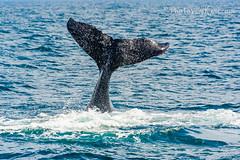 The Whale's Tail (KAM918) Tags: nikon d610 nature new england whale tail humpback calf playful week29 2016week29 project52 2016project52 watch newburyport massachusetts ma atlantic ocean sea water splash 52in2016 summer baby mammal animal