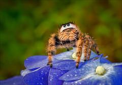 Make Your Own Kind of Music (kathybaca) Tags: world flower animal animals female spider eyes earth wildlife arachnid planet hunter prey predator crawl jumpingspider invertabrates phid phidotis