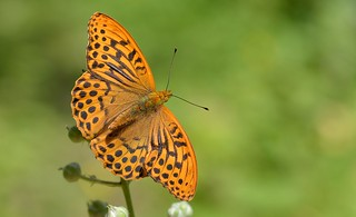 Silver-washed Fritillary (Argynnis paphia).