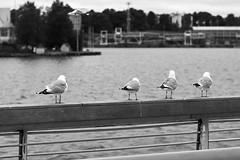 Four in a row (seagull edition) (janniswiese) Tags: helsinki finland suomi sea seagull birds animals wildlife blackandwhite nikon d7200 nikond7200