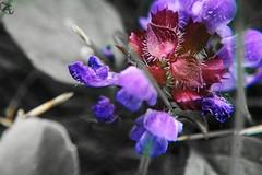 DSC02014 (Tanguy 8) Tags: fleur nature macro desaturation ultra flower bug