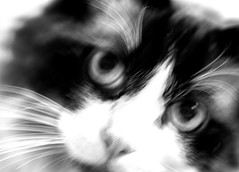 gandalf blurred lines monochrome (PDKImages) Tags: pet cute animal cat nose eyes furry doll fluffy whiskers domestic puss rag pussycat ragdoll moggy househould