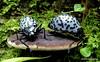 Gibbifer impressonotatus? Erotylidae (Ecuador Megadiverso) Tags: andreaskay beetle coleoptera ecuador erotylidae fungusbeetle gibbiferimpressonotatus loscedros pleasingfungusbeetle