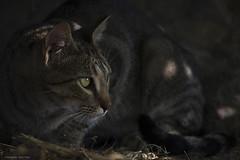 Feral cat (leporcia) Tags: animales animals animalplanet cat cats chat chatterie gatos gato gatto katze katzen felino feline feralcat outdoor eyes pet beauty