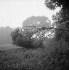 (Martina Havlov) Tags: hasselblad bw fog tree fomapan