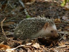 Hedgehog of Mallorca (Geminiature Nature+Landscape Photography Mallorca) Tags: atelerixalgirusvagans erizo erizomoruno egel hedgehog erinaceinae northafricanhedgehog algerianhedgehog trekegel witteegel algerijnseegel mallorca