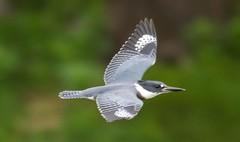 7K8A3859 (rpealit) Tags: scenery wildlife nature east hatchery alumni field hackettstown belted kingfisher flying bird