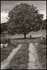 The Tree & The Photographer; Maine (hamsiksa) Tags: plants trees botany botanialphotography deciduous farm field dirt road bucolic arcadian photographers photography landscape scenic blackwhite nature
