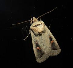 Proteuxoa nuna (Victor W. Fazio III) Tags: newsouthwales australia manningvalley lepidoptera inaturalist moth noctuidae proteuxoa nuna
