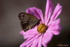 Butterfly (www.petje-fotografie.nl) Tags: aquitaineleslandes frankrijk zomervakantie2016