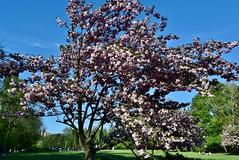 Japanese cherry   DSC_1856 (Me now0) Tags: japanesecherry park europe nikond5300 basiclens 1855mmf3556 spring   5300