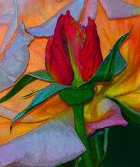2016ApricotNectar05crop2NIKpe (tkrysak) Tags: flower floral rose apricotnectar pink apricot orange red photoshop