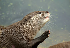 Otter High Five (SteveJM2009) Tags: orientalsmallclawed otter hand paw face whiskers greeting marwell wildlife hants hampshire uk september 2016 stevemaskell explored