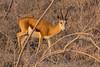 Gacela (Carlos Gaiteiro) Tags: namib animal wildlife gacela springbok antílope antelope