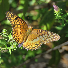 At last! (mimbrava) Tags: variegatedfritillary eupoietaclaudia fritillary butterfly dorsal newenglandaster arr allrightsreserved mimeisenberg mimbrava mimbravastudio
