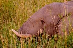 20160910 192 Okavango Sunset Elephants (scottdm) Tags: 2016 africa botswana elephants intrepid okavango okavangopanhandle okavangoriver papyrus river september travel seronga northwestdistrict bw
