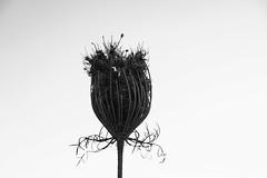 wild carrot (Rodrigo Uriartt) Tags: wildcarrot macro closeup innatura nature bw mono backlight contraluz contrast form sculpture escultura pb abstract minimalism art textures israel fujifilm xpro1 goldenhour nocrop nofilter