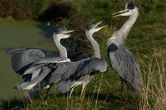 Kids - who'd have 'em!!... (paulinuk99999 - just no time :() Tags: paulinuk99999 grey heron babies mum dinner time london wildlife bushy park sal70400g