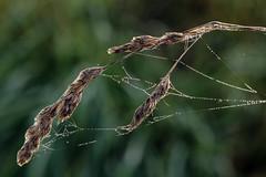 Spun (gripspix (OFF)) Tags: grass cobweb gras stalk halm spun umsponnen 20141101 spinnenwette
