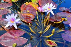 Lily Pads 3 (pmorris73) Tags: century pennsylvania arboretum pennstate statecollege statecollegepa 2cee