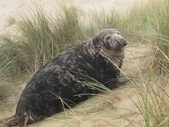 Grey Seal (mr_snipsnap) Tags: mammal grey seal