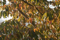 Autumn leaves (jonathan charles photo) Tags: uk autumn tree art fall topf25 leaves cherry photo colours jonathan charles