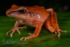 Craugastor noblei (Rob Schell Photography) Tags: rainforest costarica amphibian frog centralamerica guayacan anura anuran crarc craugastoridae iucnleastconcern noblesrobberfrog craugastornoblei costaricanamphibianresearchcenter