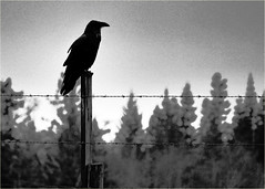 raven on a barbed wire fence (marneejill) Tags: white black fence dark wire moody brooding barb raven barbed enhanced atmospheric