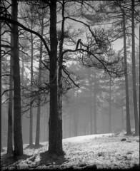 Forest (BG Sixtyniner) Tags: wood bw white mist mountain black tree film fog analog forest landscape central plus 4x5 lf hp5 sheet f56 ilford canoscan largeformat 135mm presscamera a49 supergraphic izmaglica planina magla šuma adox leafshutter vuescan divčibare nikkorw maljen atomal 9000f gragflex