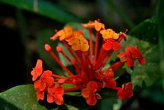 Red spots (Marc Cusco) Tags: trip travel viaje red flower southamerica ro intense rojo amazon rainforest colombia flor selva spot amazonas aventura jungla suramrica pluviselva