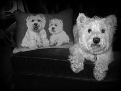"11/12A ~ ""Riley in Black & White"" (ellenc995) Tags: bw riley pillow theme westhighlandwhiteterrier coth supershot akob abigfave citrit pet500 pet100 rubyphotographer 100commentgroup alittlebeauty challengeclub coth5 ruby10 ruby15 thesunshinegroup ruby20 12monthsfordogs14"